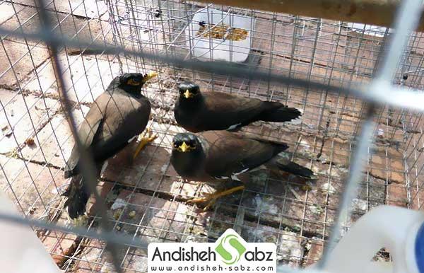 رعایت بهداشت در قفس پرورش مرغ مینا