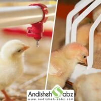 چرا در مرغداری ها و سالن پرورش طیور حتما باید از دانخوری آبخوری استاندارد استفاده شود؟- اندیشه سبز