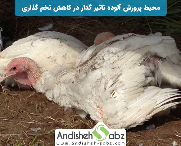 تاثیر بهداشت مرغداری در باروری تخم