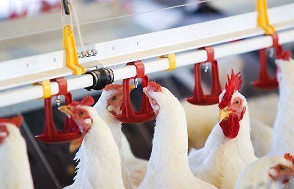 نکات مهم به هنگام نصب آبخوری و استفاده از آن در مرغداری - اندیشه سبز