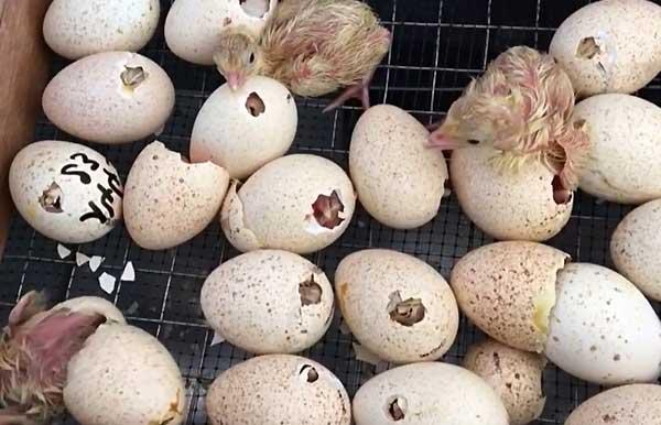 عوامل تأثیر گذار بر میزان جوجه آوری تخم های نطفه دار بعد از تولید - اندیشه سبز