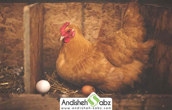 راهکارهای مفید برای کرچ شدن مرغ