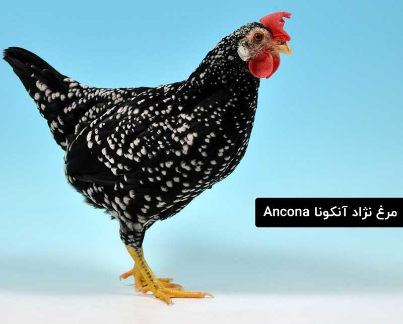 نژاد مرغ آنکونا