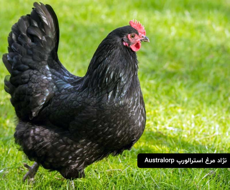 مرغ استرالیایی سیاه رنگ