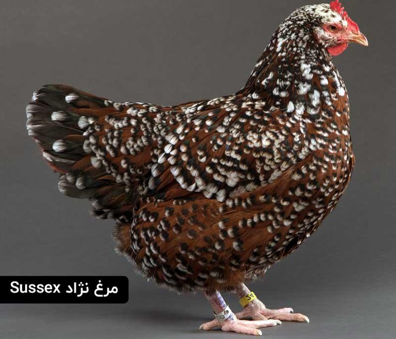مرغ نژادسوسکس