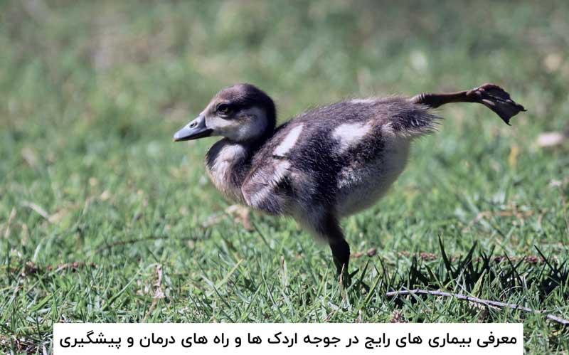 بیماری های رایج در جوجه اردک ها