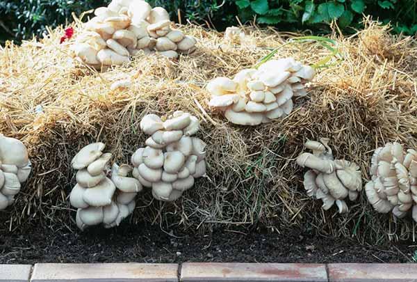 اصول کاشت قارچ صدفی - فروشگاه اینترنتی اندیشه سبز