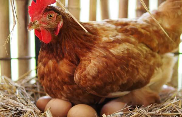 چه کنیم تا مرغ کرچ شود