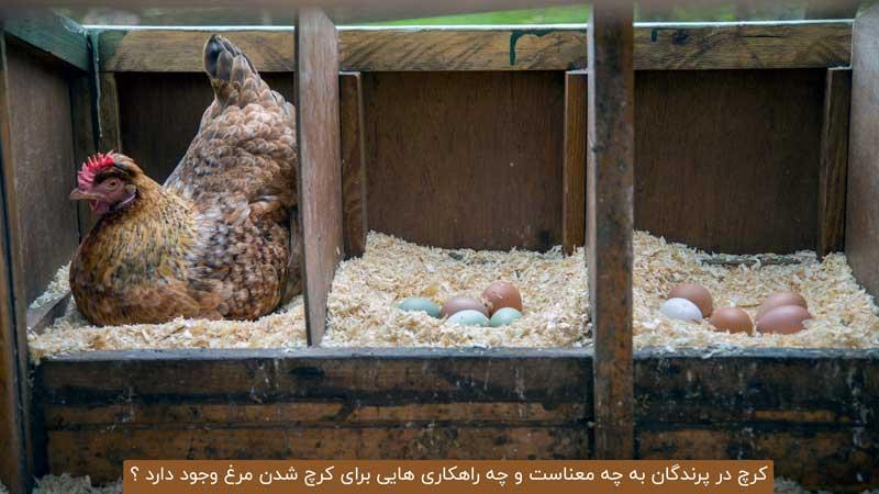 کرچ مرغ بومی