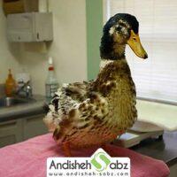 آشنایی با بیماری های جوجه اردک ها - اندیشه سبز