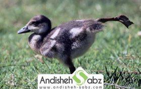 بیماری-های-رایج-در-جوجه-اردک-و-درمان-آنها