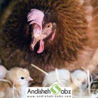 جوجه کشی طبیعی از مرغ