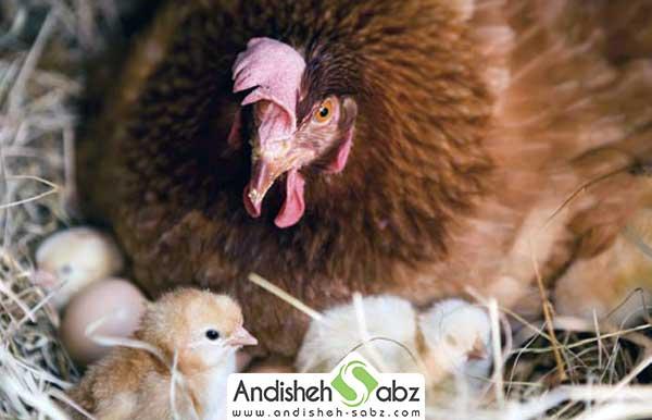 جوجه کشی مرغ به روش سنتی