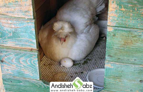 لانه برای جوجه کشی طبیعی از مرغ