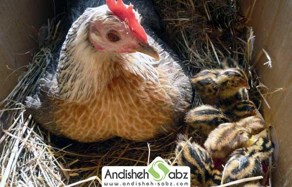 مرغ مناسب برای جوجه کشی طبیعی