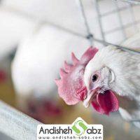 نگهداری از مرغ گوشتی در قفس