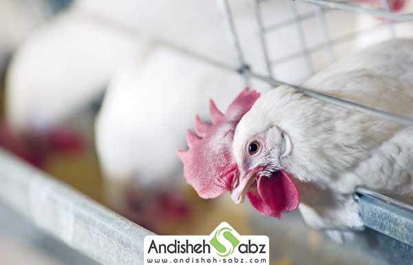 با اصول پرورش جوجه مرغ گوشتی در قفس آشنا شوید