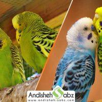 آموزش تکثیر و جفت گیری مرغ عشق