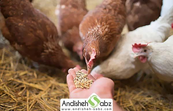 آموزش تهیه دان و جیره غذایی مرغ گوشتی
