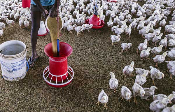 جیره نویسی مرغ