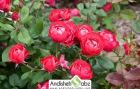 آموزش کاشت گل رز در گلخانه