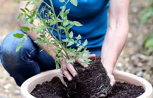 انواع گونه های گوجه فرنگی گلخانه ای - اندیشه سبز