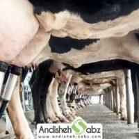 تاثیر استفاده از تجهیزات مدرن در افزایش شیردهی گاو