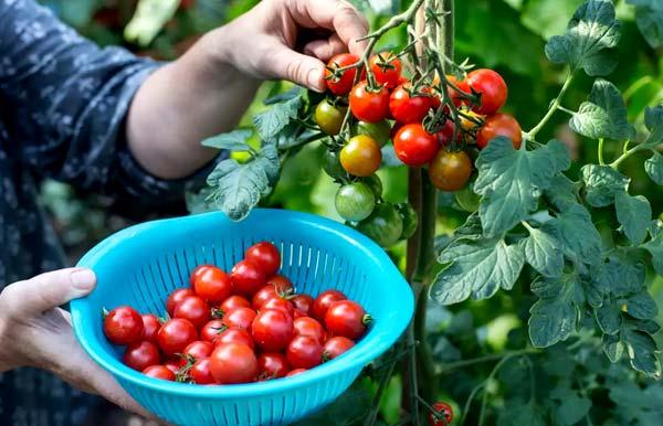 زمان برداشت گوجه فرنگی در گلخانه - اندیشه سبز