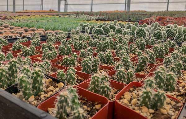 پرورش کاکتوس در گلخانه - اندیشه سبز