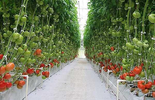کاشت خیار و گوجه فرنگی گلخانه ای