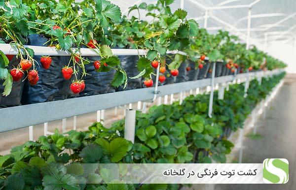 کشت توت فرنگی در گلخانه - اندیشه سبز