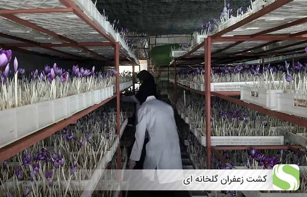 کشت زعفران گلخانه ای - اندیشه سبز