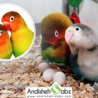 آموزش تکثیر و جفت گیری طوطی برزیلی