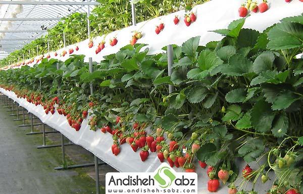 گلخانه توت فرنگی چقدر درامد دارد و چقدر هزینه و سرمایه می خواهد؟ - اندیشه سبز