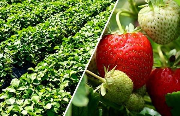 درآمد پرورش توت فرنگی چقدر خواهد بود - اندیشه سبز