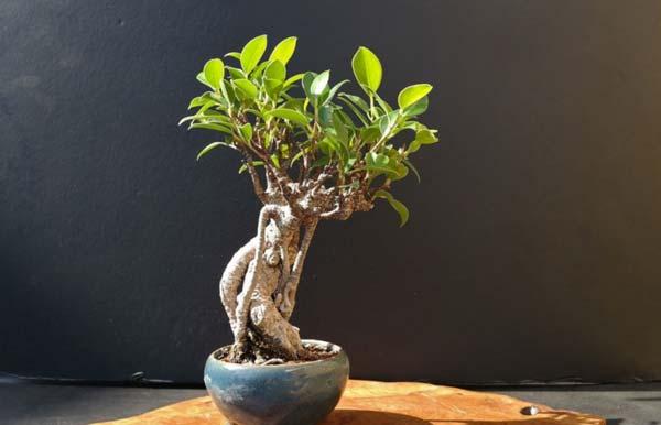 درختچه بونسای فیکوس - اندیشه سبز