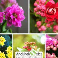 زیباترین گل های گلخانه ای و آپارتمانی در ایران کدامند