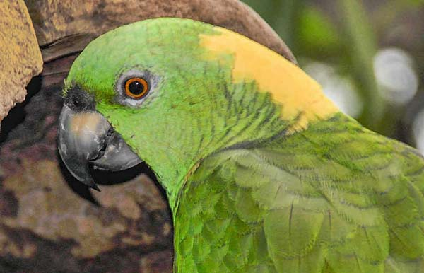 طوطی آمازون