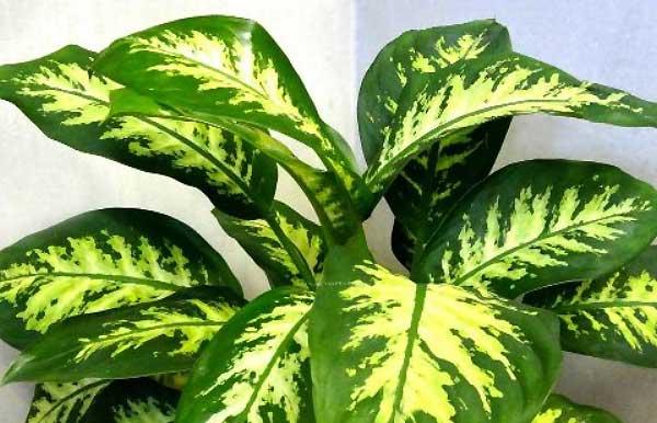 گل دیفین باخیا - اندیشه سبز
