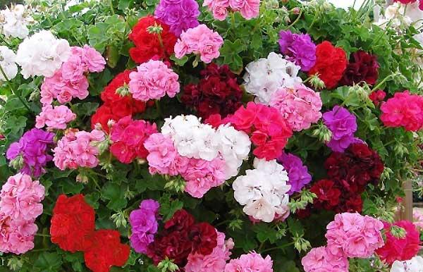 گل شمعدانی - اندیشه سبز