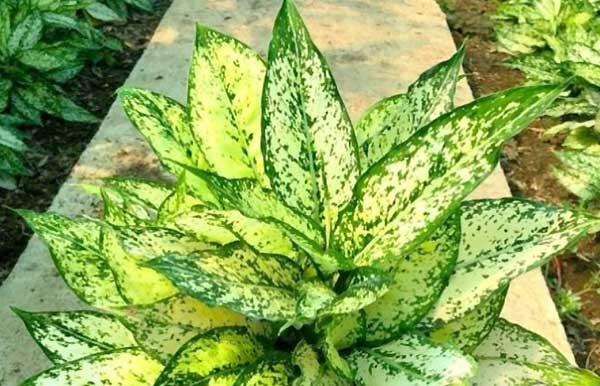 گیاه آگلونما - اندیشه سبز