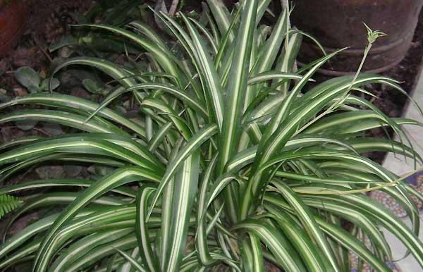 گیاه عنکبوتی - اندیشه سبز