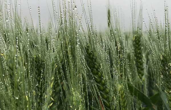 عوارض کاهش شدید رطوبت بر گیاهان و سبزیجات - فروشگاه اینترنتی اندیشه سبز