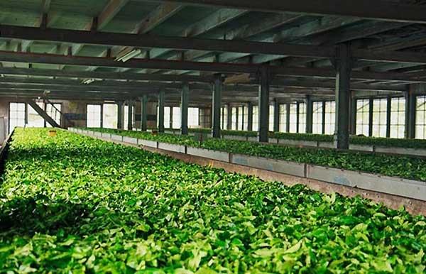 چرا در سالن تولید چای از رطوبت ساز استفاده می شود - فروشگاه اینترنتی اندیشه سبز