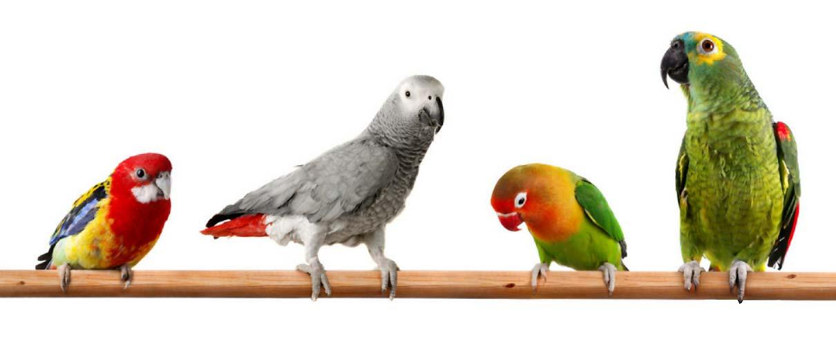 کدام نژاد از طوطی ها قابل جوجه کشی با دستگاه هستند - فروشگاه اینترنتی اندیشه سبز