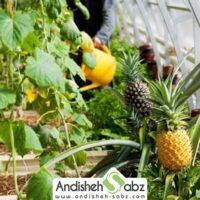 کشت میوه های استوایی و گرمسیری در گلخانه