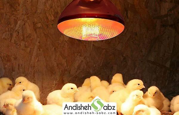 اهمیت استفاده از لامپ مادر مصنوعی پس از جوجه کشی - اندیشه سبز