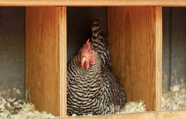 به اندازه کافی لانه برای مرغ های تخمگذار تهیه کنید
