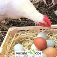 راهکاری های عملی برای افزایش تخمگذاری مرغ - اندیشه سبز