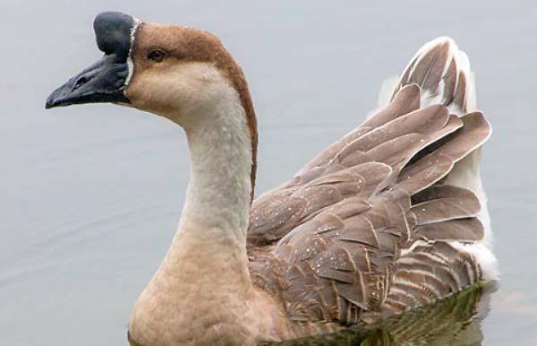 غاز افریقایی (african goose) - اندیشه سبز